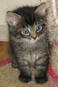 И черты характера сибирской кошки