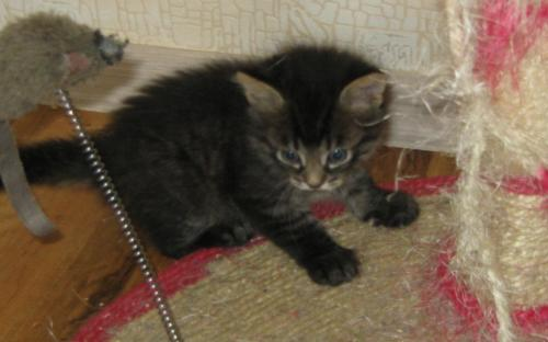 Темненький котенок
