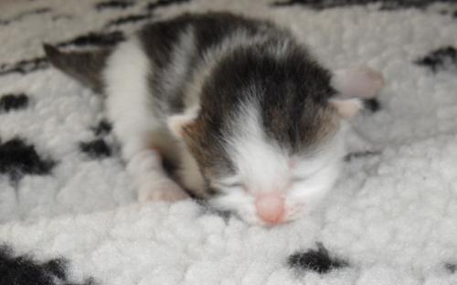 Фотография: серо-белая кошечка в две недели
