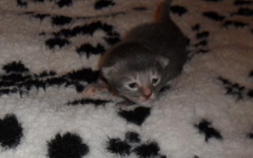 Фото: серый котенок в две недели