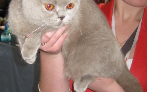 Британская короткошёрстная кошка