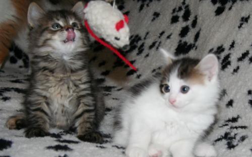 Красивое фото: милые котята на пледе играют с мышкой