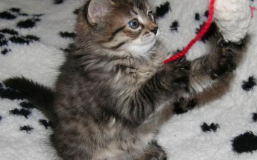 Кошка играет с игрушечной мышкой