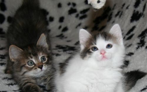 Милые котята на пледе играют с мышкой - интересный фотоснимок