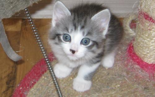 Фотография: серо-белый котенок