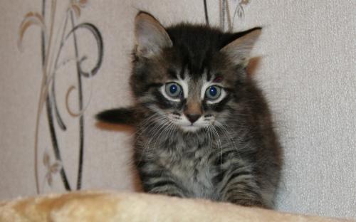 Фотоснимок: милый котенок окраса табби