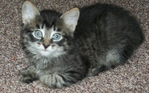 Котенок окраса табби