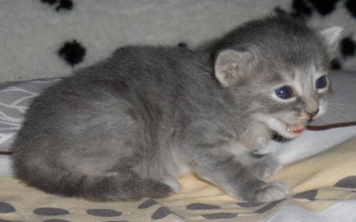 Серый котенок в три недели